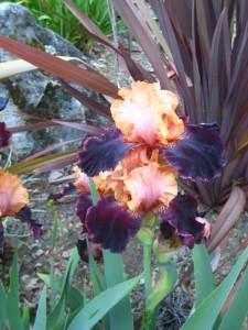 More Spring Iris