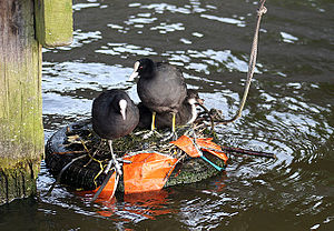 Coots on a tire