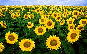 Sunflowers in Fargo, North Dakota.