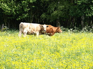 English: As happy as a cow in clover Couple of...