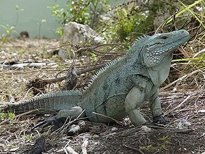 Adult male Grand Cayman Blue Iguana. Photo by ...