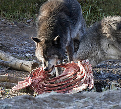 Wolves Eating with Dominance Display