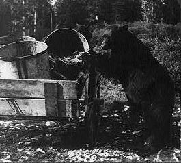 Large black bear at garbage pails on wagon, Ye...