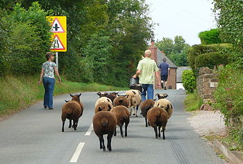 Escaped sheep being led back in to a pasture w...